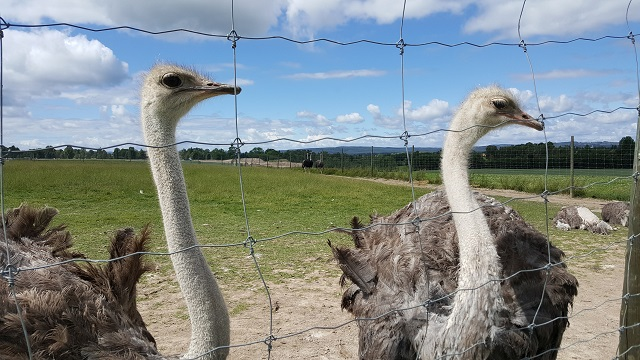 Ostriches at ostrich farm Sahlins Struts in Borlänge